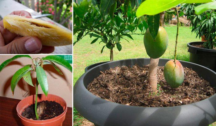 Як виростити манго з кісточки в домашніх умовах