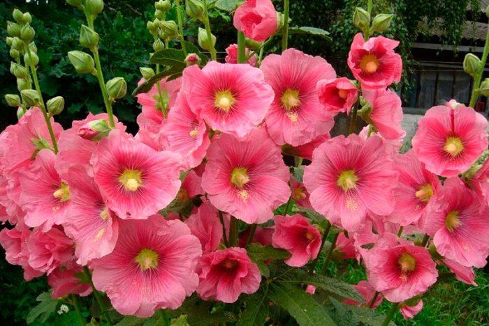 Квіти мальва